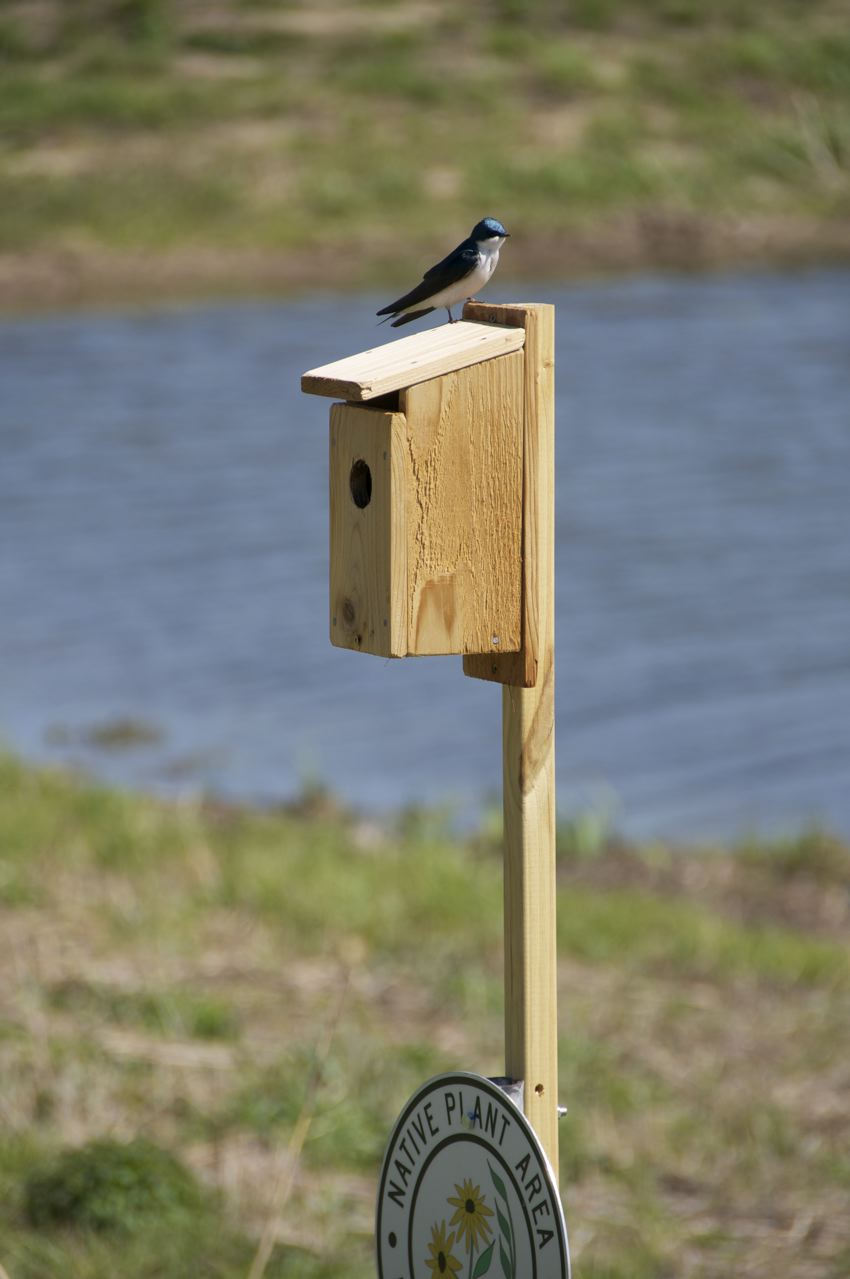 Tree swallow in Montgomery